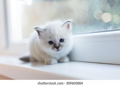 Sacred Burmese kittens