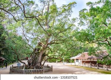 The sacred camphor tree called 'O-Kusu', which means 'The great camphor tree' in English, at Oyamazumi Shrine. Since it is said that it lives over 2600 years, It is treated as a natural treasure.
