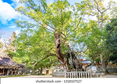 The sacred camphor tree called 'O-Kusu', which means 'The great camphor tree' in English, at Oyamazumi Shrine.The panel written in Japanese says 'O-kusu' and explains origins and ages of the tree.