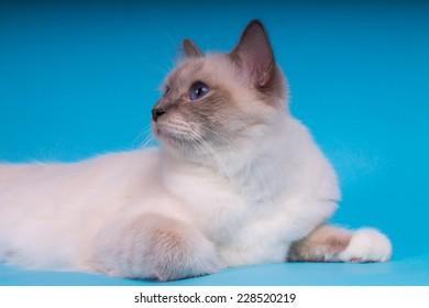 Sacred cat, tibetan monks, blue background, blue eyes, isolated