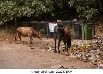 Sacred cow in india feeding on garbage, India,GOA