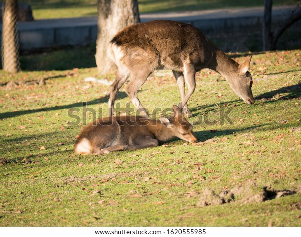 Sacred deer eating grass on the lawn in Nara park in Nara city - ancient capital of Japan in autumn