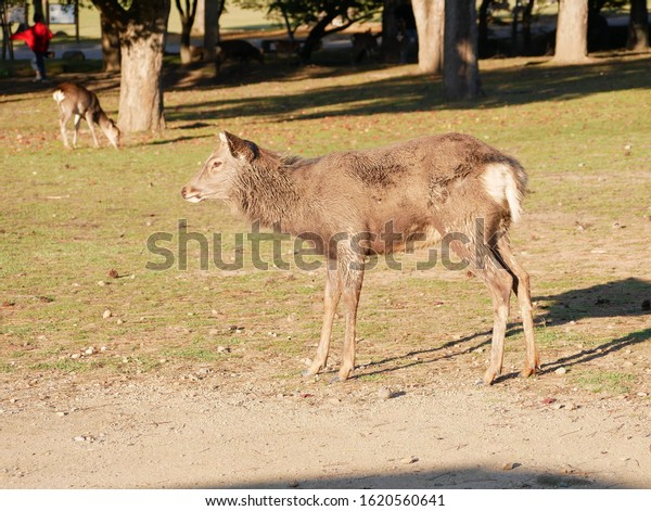 Sacred deer roaming around Nara park in Nara - ancient capital of Japan in autumn