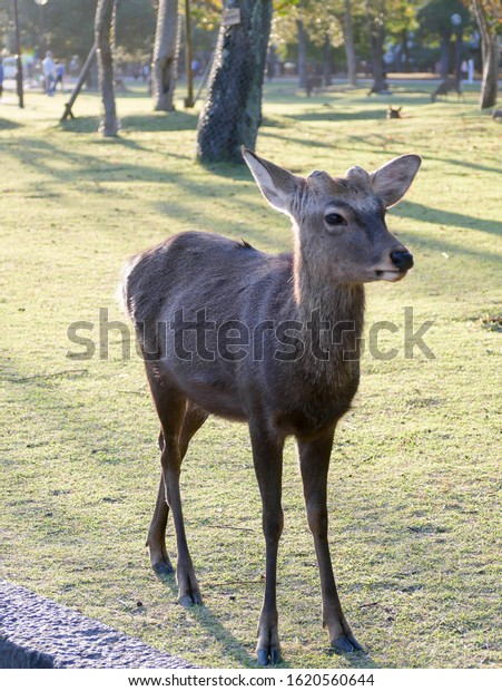 Sacred deer roaming around Nara park in Nara - ancient capital of Japan in autumn