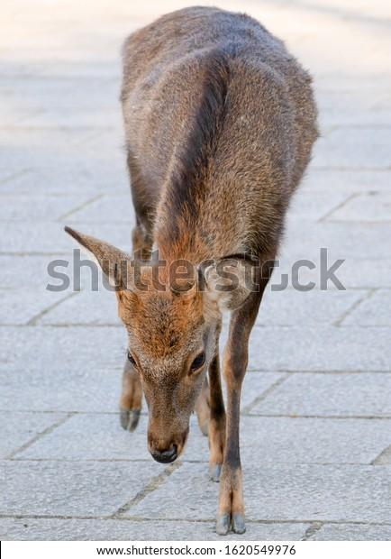 Sacred deer walking on the road in ancient capital of Japan - Nara