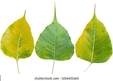 Sacred fig leaf (Bo Tree,Ficus religiosa L., Bohhi Tree , Pipal Tree) on clipping path.