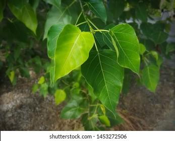 Sacred fig leaf, bodhi leaf, pippala leaf, peepul leaf.