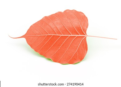 Sacred fig leaf (Ficus religiosa L. , Pipal Tree, Bohhi Tree, Bo Tree, Peepul )  on white background processed in red tone