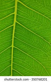 Sacred fig leaf (Ficus religiosa L. , Pipal Tree, Bohhi Tree, Bo Tree, Peepul )