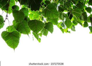 Sacred fig leaves