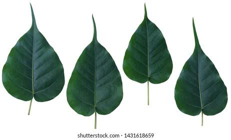 Sacred fig leaves(Ficus religiosa Leaf.  Pipal Tree, Bodhi, Bo Tree, Peepul, Banyan ) with white background