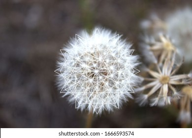Sacred Geometry in Nature - Dandelion - Flower of life, Vector Illustration