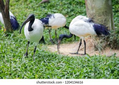 Sacred Ibis, Fresh water birds