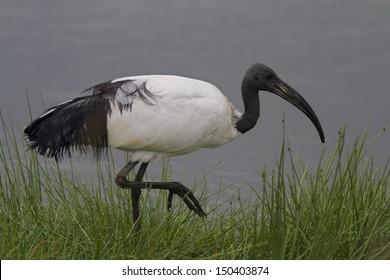 Sacred ibis wading shallow water