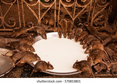 Sacred Mice in the Karni Mata Temple, also called the Rat Temple in Deshnoke, India. They are feeding off milk around a round plate.
