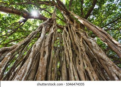 the sacred tree in the jungle. India. Goa