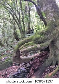 Sacred Trees in Cinsbu, JianShi Township, HsinChu County.