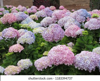 Sacred Valley, Peru - May 10, 2017: Giant blooms on pink and lavender hydrangeas.