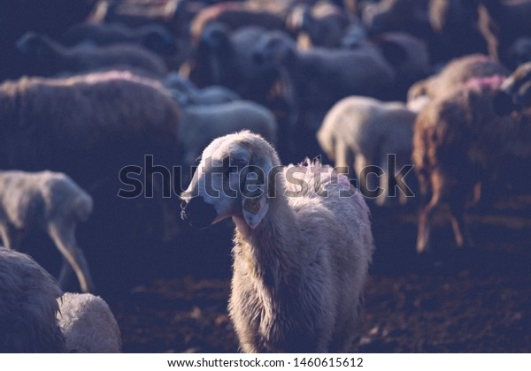 Sacrificial sheep herd is patrolling in nature and grazing. Sacrifice Eid concept (in TR: Kurban Bayrami). Sacrificial sheep (in TR: Kurbanlik koyun). Eid al adha concept. Religion and sacrifice feast