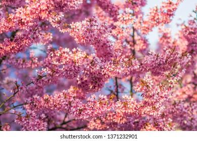sacura in blossom