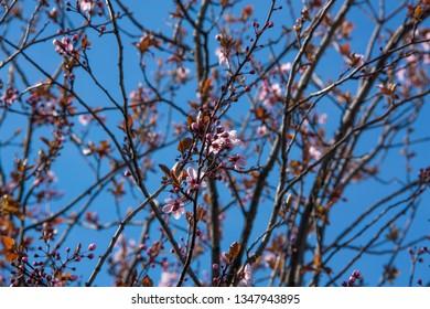 sacura branch apple flowers