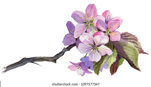A sacura branch is depicted on a white background. Seven buds grow on the branch. Painted in watercolor.