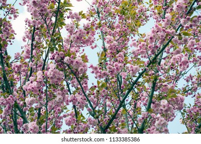 Sacura - colorful blooming spring flowers of bushes and trees