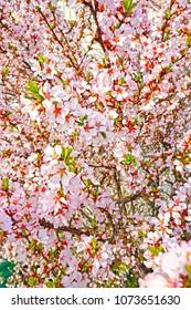 Sacura flower florel blossom spring