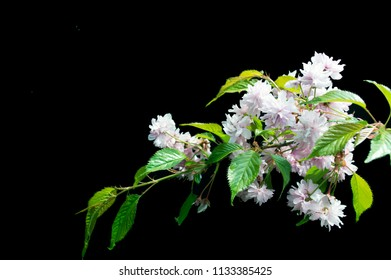 Sacura Flowers on black background - colorful blooming spring flowers of bushes and trees