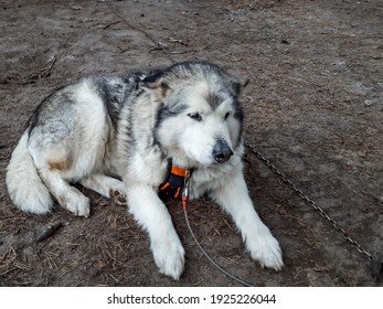 Sad alaskan malamute on the metal chain lying on ground and resting before sleigh ride. Beautiful husky dog portrait. Closeup of dog looking to the side