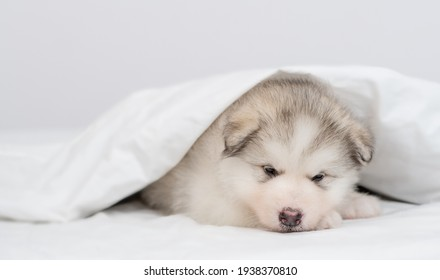 Sad alaskan malamute puppy lying  under white warm blanket on a bed at home
