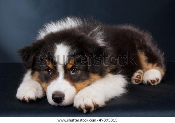 Sad Australian Shepherd Puppy On Black Stock Photo (Edit Now) 49895815