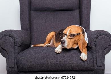 sad beagle dog in eyeglasses lying on grey armchair