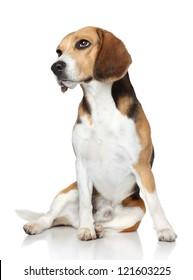 Sad Beagle dog sits on white background