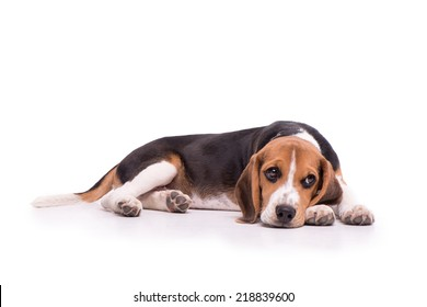 Sad Beagle lying, isolated