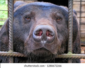 Sad bear in animal cage. Carpathian bear captivity in animal zoo behind cage bars. Portrait of brown bear in circus cage for animals. Wild bear stuck nose through animal cage bars & wants to bee free