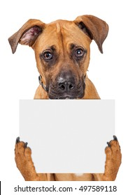 Sad big crossbreed dog holding up blank sign with paws. Isolated on white.