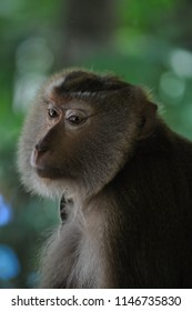 Sad bonded monkey from Thailand