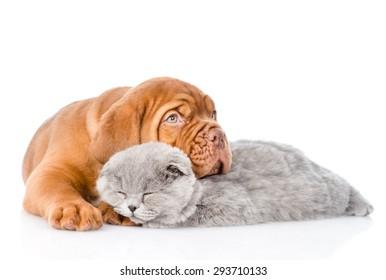 Sad Bordeaux puppy hugs sleeping cat. isolated on white background