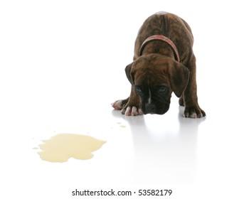 Sad Brindle Boxer Puppy Potty Accident Spot