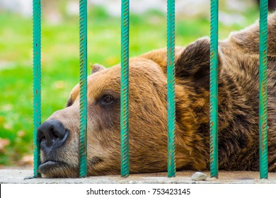 Sad brown bear looking through the bars of a cage in the zoo. Captivity, animal rights, cruelty, sadness, unhappy, prison, survival.