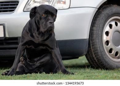Sad cane corso dog safeguard the car in the yard