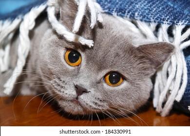 Sad cat under the coverlet