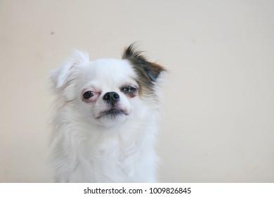 sad Chihuahua or Chiwawa dog sitting isolated