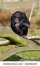 sad chimpanzee