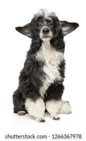 Sad Chinese crested dog sitting on a white background. Animal themes