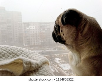 sad cute pug dog with big eyes looking out the window