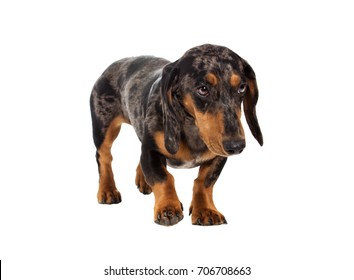 sad dachshund dog looks