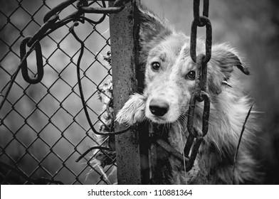 Sad dirty dog black and white on fence