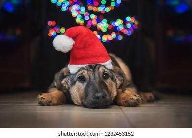 Sad  dog dressed in santa's hat at christmas